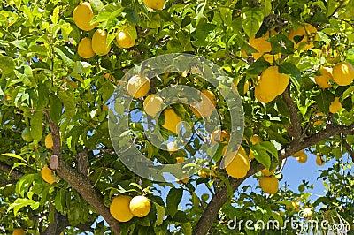 De boom van de citroen