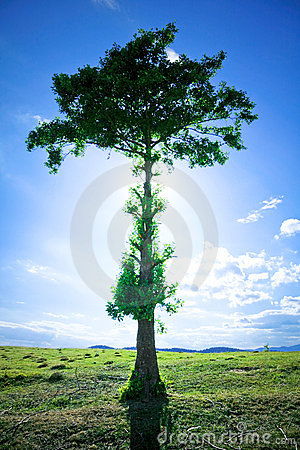 De boom van de pijnboom