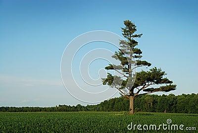 Royalty vrije stock afbeelding de boom van de pijnboom