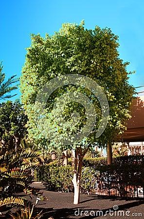 De boom van ficussen in een tuin