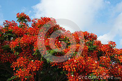 De boom van Poinciana