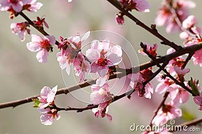 De boombloesem van de kers