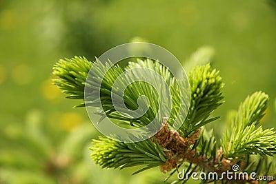 De boomtak van de pijnboom