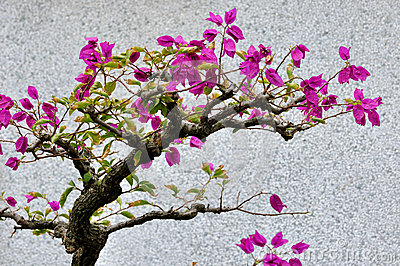 De bougainvillea bloeien bonsai