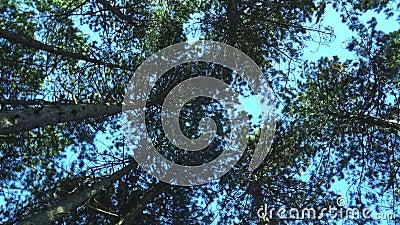 De bovenkanten van de pijnbomen in de zon op een blauwe hemel stock footage