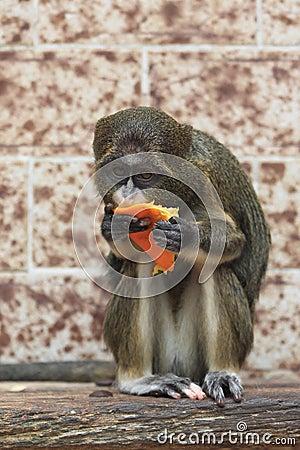 De Brazza s monkey