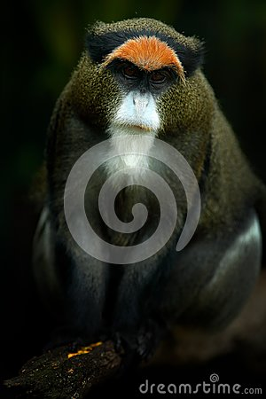 Free De Brazza`s Monkey, Cercopithecus Neglectus, Sitting On Tree Branch In Dark Tropic Forest. Animal In Nature Habitat, In Forest. D Royalty Free Stock Photo - 102075645