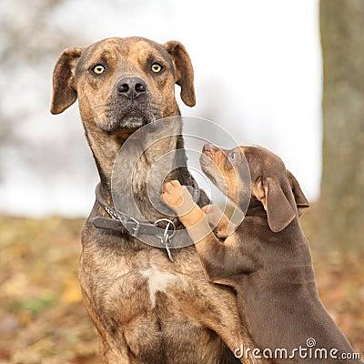 De hond van Louisiane Catahoula van het parenting wordt doen schrikken die