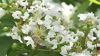 De close-up van Wit omfloerst Myrtle Blossoms stock videobeelden