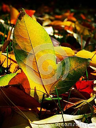 De dalingsbladeren van de herfst - Esdoorn