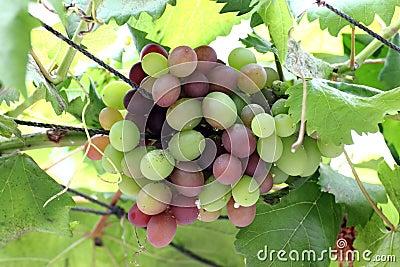 De Druiven van de wijn