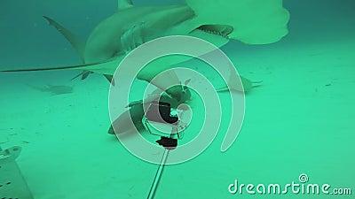 De duikers schieten haaien, hamervissen onderwater feeding Het oceaanwild deepness stock videobeelden