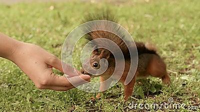 De eekhoorn eet van de hand stock videobeelden