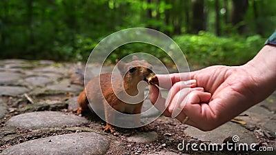 De eekhoorn kiest noot van de handen van meisje De groene achtergrond van het de lentepark stock footage