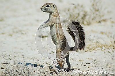 De eekhoorn van de grond in Etosha