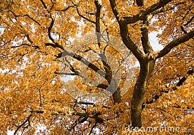 De eik van de herfst