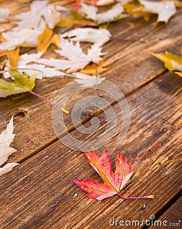 De esdoornblad van de daling