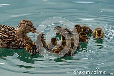 De familie van de eend