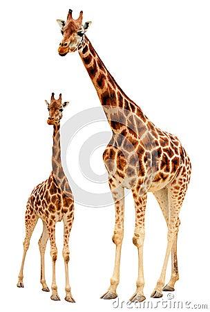 De familie van de giraf