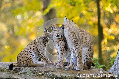 De familie van de lynx