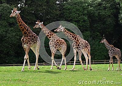 De familie van giraffen
