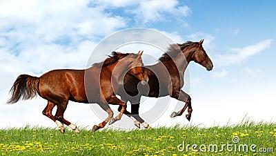 De galop van paarden
