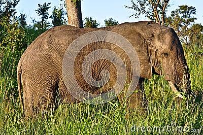 De gang van de olifant