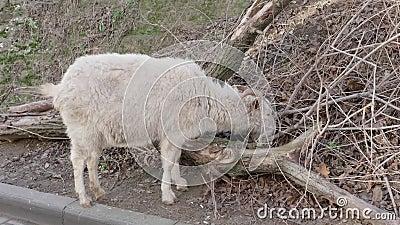De geit eet droog gras stock footage