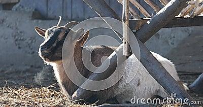 De geit ligt buiten op het hooi stock video