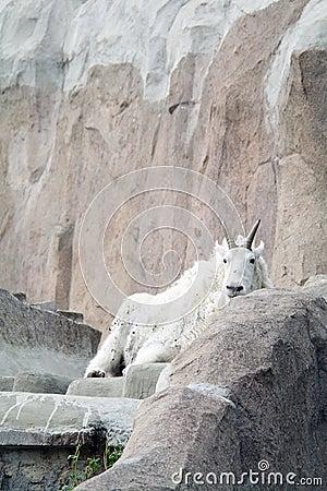 De geit van de berg onder de rotsen en de klippen