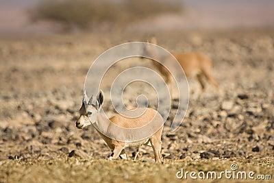 De geit van de Steenbok van Nubian
