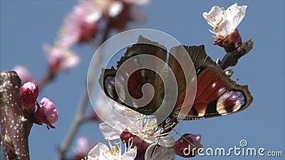 De geschilderde Damevlinder zoogt nectar van abrikozenbloesem stock footage