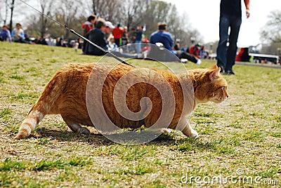 De gestreepte kat op Leiband besluipt Unseen Prooi