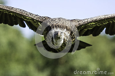De gier van Griffon van Rüppells frontaal tijdens de vlucht