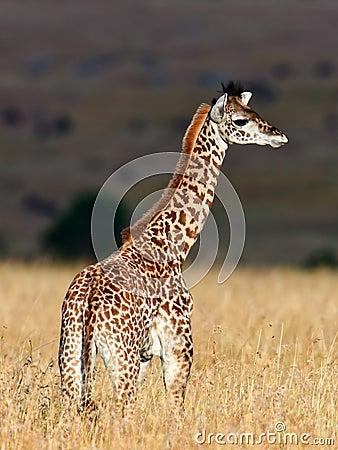 De girafgang van de baby op de savanne bij zonsondergang