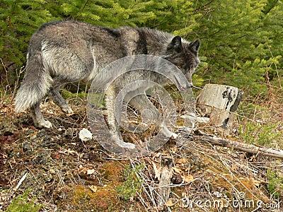 De grijze Wolf snuffelt rond