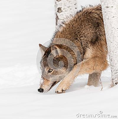 De grijze Wolf (wolfszweer Canis) snuffelt rond