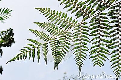 De groene Bladeren van de Varen
