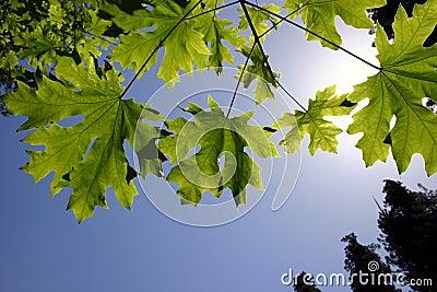 De groene Esdoorn doorbladert