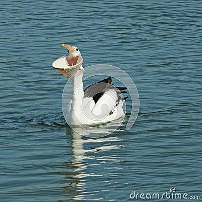 De grote mond van de pelikaan