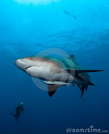 De haai van de stier in Mozambique