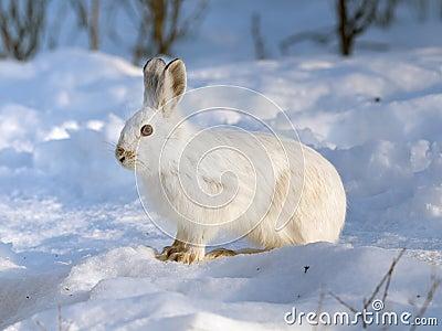 De Hazen van de sneeuwschoen