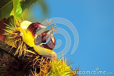 De herfst: kastanje met open shell en twee onzelieveheersbeestjes