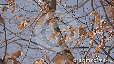 De herfstbladeren op een boom stock video