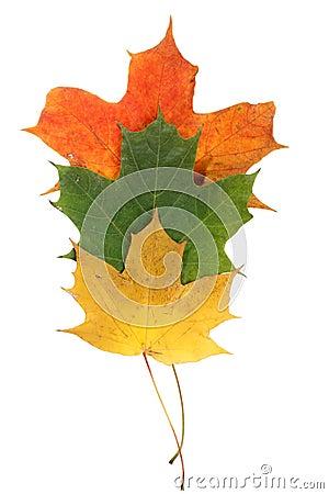 De herfstbladeren van de esdoorn