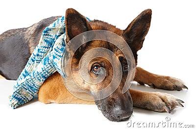 De hond die van de Duitse herder sjaal draagt
