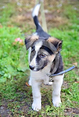 De hond die van het puppy staart eruit ziet
