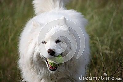 De hond en de bal van Samoyed