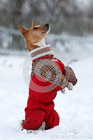 De hond van Basenjis