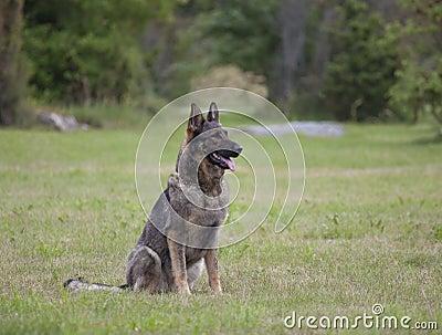 De hond van de Duitse herder